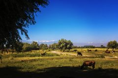 吃草在草甸的母牛,反对在白色云彩盖的高山背景  免版税库存图片