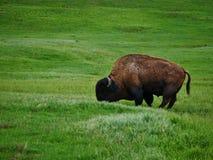 吃草在草甸的水牛城 免版税库存照片