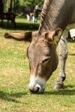 吃草在草甸的灰色驴 图库摄影