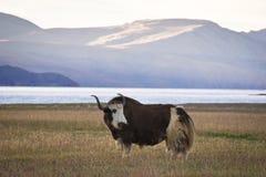 吃草在草甸的牦牛在喜马拉雅山山 免版税库存图片