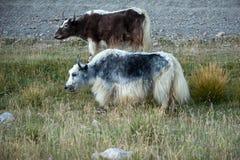 吃草在草甸的牦牛 免版税库存图片