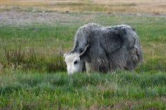 吃草在草甸的牦牛 库存照片