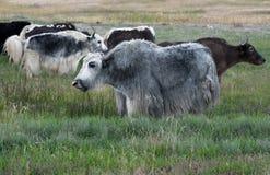 吃草在草甸的牦牛 库存图片