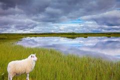 吃草在草甸的白色冰岛绵羊 免版税库存照片