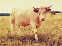 吃草在草甸的白色母牛 在草甸的热的晴天有黄色草的偷偷靠近 飞行坐母牛头 免版税库存照片
