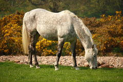 吃草在草甸的白马 库存图片
