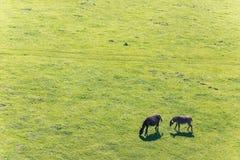 吃草在草甸的结合驴 r 库存图片