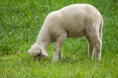 吃草在草甸的羊羔 免版税库存照片