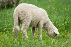 吃草在草甸的羊羔 图库摄影