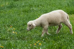 吃草在草甸的羊羔 免版税图库摄影