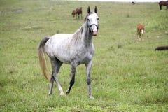 吃草在草甸的良种阿拉伯马 库存照片