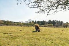吃草在草甸的苏格兰高地居民 库存图片