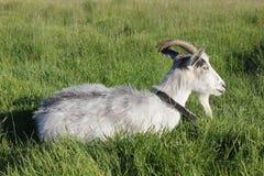吃草在草甸的被束缚的山羊 库存图片