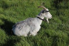 吃草在草甸的被束缚的山羊 免版税图库摄影