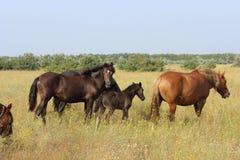 吃草在草甸的马和驹牧群  免版税库存照片