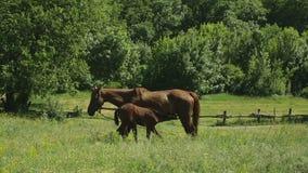 吃草在草甸的马 股票录像