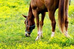 吃草在草甸的马 免版税库存图片