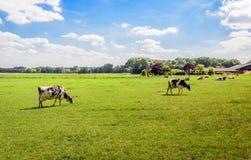 吃草在草甸的黑白黑白花牛母牛 免版税库存图片