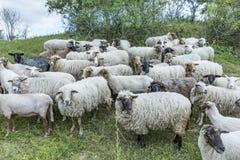 吃草在草甸的绵羊群  库存照片