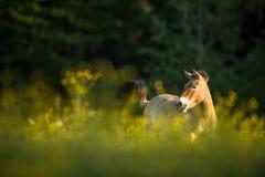 吃草在草甸的Przewalski马 库存图片