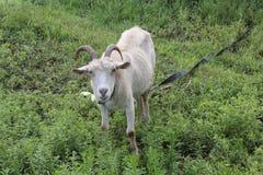 吃草在草甸20193的被束缚的山羊 图库摄影