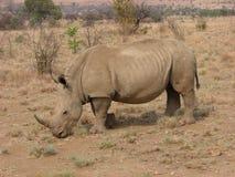 成人非洲白色犀牛 库存图片