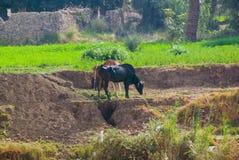 吃草在草的典型的非洲品种两头母牛在尼罗河的边缘在埃及,在非常绿地和在Th旁边 免版税库存照片