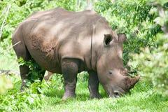 吃草在草的白色犀牛 免版税库存照片