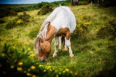 吃草在草的野生Dartmoor小马 免版税库存照片