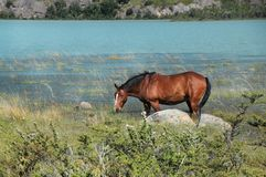 吃草在草的野马,在湖附近 库存照片