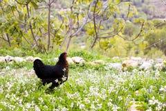 吃草在草的黑母鸡 免版税库存图片