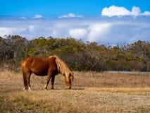 吃草在草的Assateague小马 库存照片