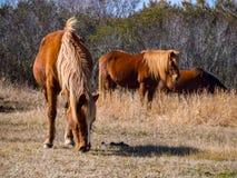 吃草在草的Assateague小马 免版税库存图片