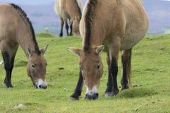 吃草在草的Przewalski马作为画象或有背景、成人和青少年 免版税库存图片