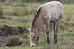 吃草在草的Przewalski马作为画象或有背景、成人和青少年 免版税库存照片