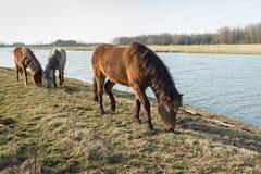吃草在荷兰自然保护的三匹冰岛马 免版税库存图片