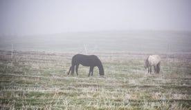 吃草在薄雾秋天有雾的早晨的马 图库摄影