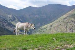 吃草在西班牙或加泰罗尼亚语比利牛斯山的白色母牛近 库存照片