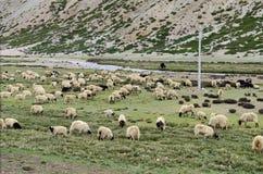 吃草在西藏 库存照片