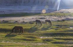 吃草在谷的马 免版税库存图片