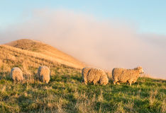 吃草在象草的小山的美利奴绵羊在日落 库存图片