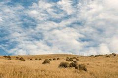 吃草在象草的小山的美利奴绵羊 免版税库存图片