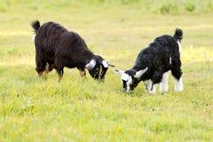 吃草在象草的领域的两只小孩山羊 免版税库存图片
