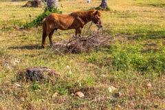 吃草在豪华的绿色牧场地的马 库存图片