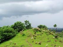 吃草在豪华的绿色领域的绵羊 免版税库存照片