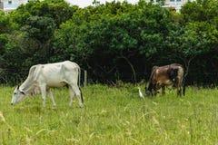 吃草在都市区域的母牛 库存照片