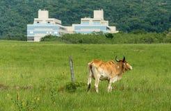 吃草在都市区域的Bown母牛 免版税库存照片