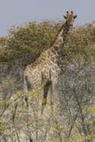 吃草在金合欢丛林的长颈鹿在埃托沙国家公园,纳米比亚 库存照片