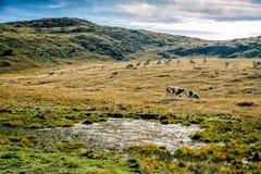 吃草在阿尔卑斯的西门塔尔牛母牛 库存图片