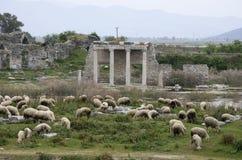 吃草在阿波隆寺庙前面的绵羊在米利都古城,土耳其 免版税库存图片